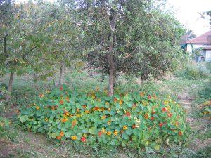 צמחים יכולים לחפות את הקרקע ולשמור עליה. כובע הנזיר שבתמונה מתפשט מהר ואף אכיל.
